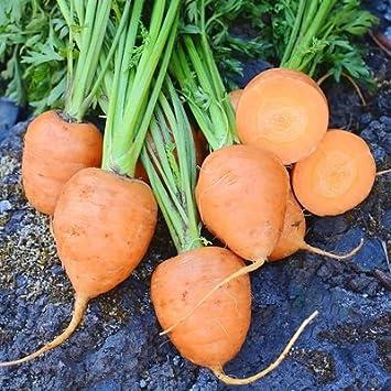 1 gramo de semillas Rondo Zanahorias: Amazon.es: Jardín