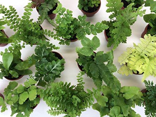 Super Micro Ferns (1.5