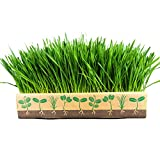 Wheatgrass Box By Home Greens - All in One Kit to Grow Your Own Wheatgrass