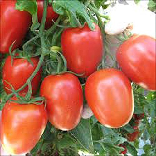 TOMATO, ROMA TOMATO SEED, ORGANIC, NON- GMO, 25 SEEDS PER PACKAGE ()