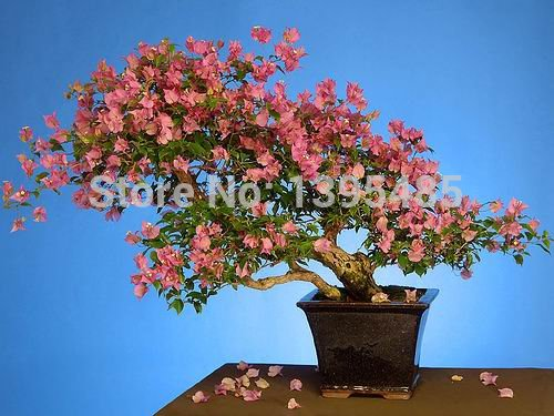 Swallow Palm Seed100% Genuine Fresh Rare Jade plant Seeds bonsai Succulent Flower Seeds 100PCS SVI