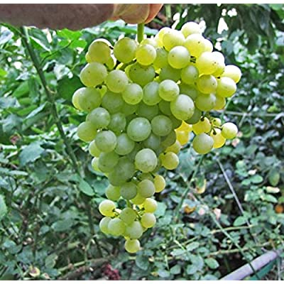 Thompson Seedless Grape Vine Plant, Sweet Excellent Flavored