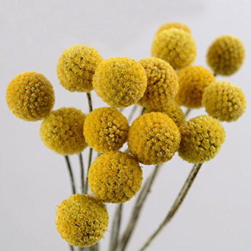 tyoungg Dried Craspedia Yellow Billy Balls Dried Flowers For Wedding Bouquet Decor Christmas Wreath DIY 20 Stems