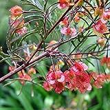 CROSO Seeds PACAKGE ONLY NOT Plants: Dodonaea Boronfolia Hop Seeds (N)