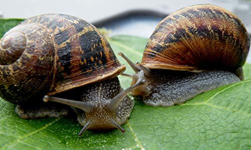3 Live Garden Snails
