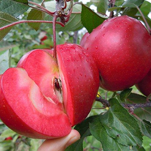 Wintefei 10 Pcs Red Apple Tree Rare Seeds Fruits Plants Bonsai Home Garden Decoration