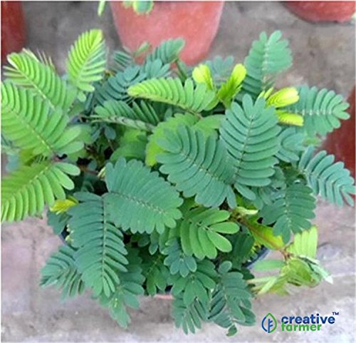 Creative Farmer Best Organic Herb Seeds Mimosa Pudica Touch Me Not Plant Seeds Hybrid Bulk Seed Pack For Growing 10gm