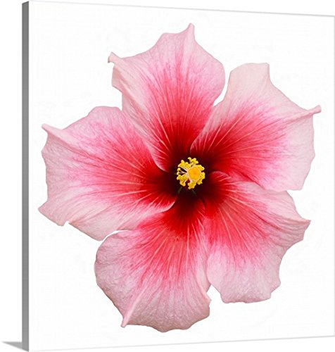 Gallery-Wrapped Canvas entitled Pink hibiscus flower by Great BIG Canvas 35''x35'' by greatBIGcanvas