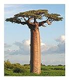 Adansonia grandidieri - Grandidiers baobab - 3 seeds