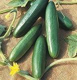 David's Garden Seeds Cucumber Slicing Diva D2198AA (Green) 50 Open Pollinated Seeds