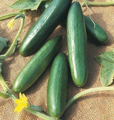 David's Garden Seeds Cucumber Slicing Diva D2198AA (Green) 50 Open Pollinated (Garden Cucumber)