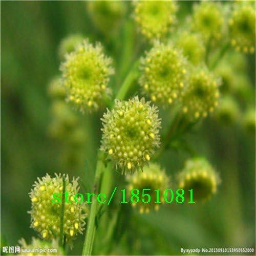 AGROBITS Nuevo hogar jardín de plantas Semillas Semillas 100 Artemisia annua - Un año de artemisa: Blanco: Amazon.es: Jardín