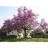 pianta piante di cercis siliquastrum pianta dell'amore albero alberi in vaso 7 x 7 altezza circa 30 cm