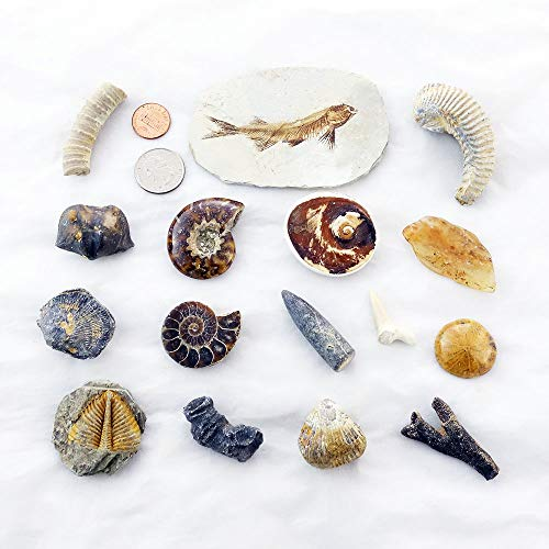 SUNNYHILL Fossil Collection Kit 16 pc Genuine Specimens: Fish Fossil Harrow Oyster Trilobite Tails etc.