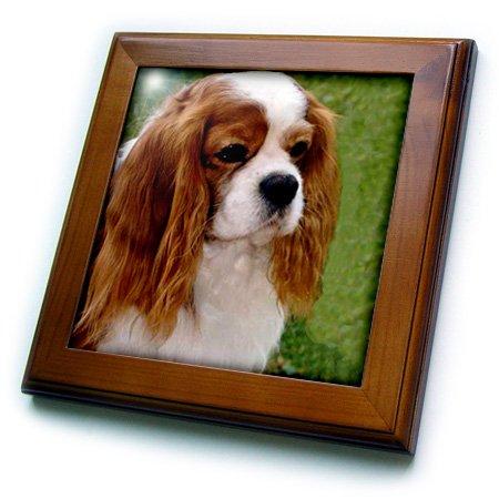 3dRose LLC Cavalier King Charles Spaniels 8 by 8-Inch Framed Tile - Cavalier King Charles Spaniels Framed