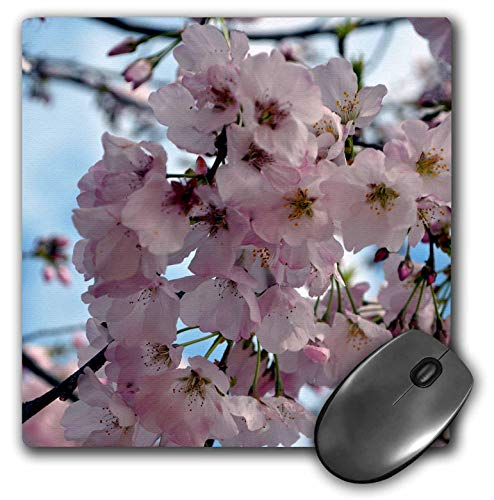 (3dRose ET Photography - Flowers - Yoshino Cherry Blossoms A Georgia flowering tree in the spring - MousePad (mp_127784_1))