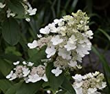 Tardiva Hydrangea paniculata - 24'' - 36'' Tall - Hardy - Established Roots- One Gallon Trade Potted - 1 Plant by Growers Solution