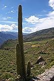 LAMINATED POSTER Plant Botany Nature Landscape Cactus Cephalocereus Poster Print 24 x 36