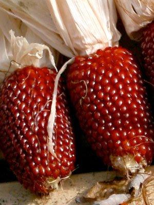 Organic Strawberry Popcorn Seeds 1 LB ~3,200 seeds