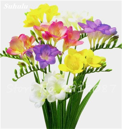 20 Pcs Freesias Seeds Colorful Fragrant Flower Plant Gorgeous Seeds Charming Flower Plant Seeds Plant For Garden 9