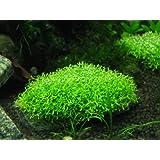 Crystalwort (Riccia fluitans) - Live aquarium plant