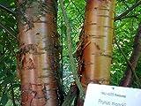 Hardy Amur Chokecherry, Prunus Maackii, Tree 20 Seeds