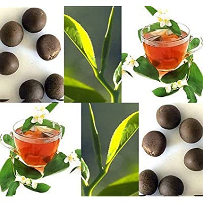 New Germinated Tea Plant 10 Seeds - Camellia sinensis Shrub Seed Green Black Tea : Garden & Outdoor