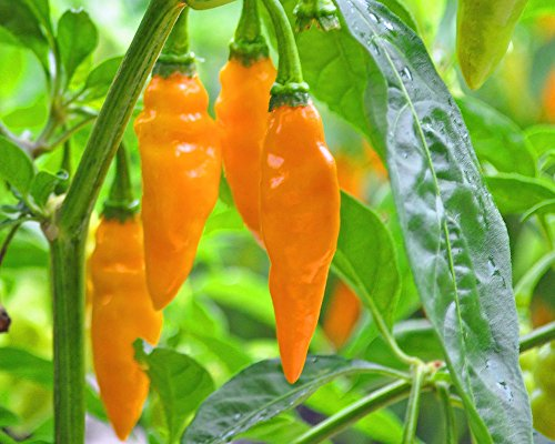 Datil Hot Pepper 30+ Fresh Organic Seeds