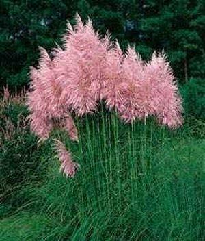 pink-pampas-ornamental-grass-c-selloana-rosea-4-plant-by-9greenbox