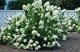 Fresh Cuttings Grow Your Own PeeGee Hydrangea Trees Get 10 Fresh Cuttings 4-10 Inch #ADN01YN