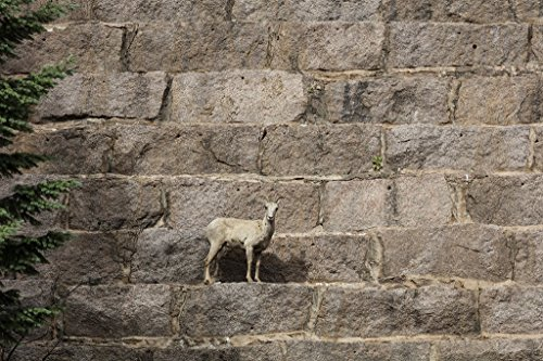 Jefferson County, CO Photo - This is not a work of art, but it could be. It's a Rocky Mountain bighorn sheep, almost posing on the very wall of Cheesman ()