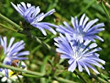 Chicory (2000 to 50 LB seeds) Easy Grow Bulk Pick Size Plot Flower 207 (20 LB, or 8 Million seeds)
