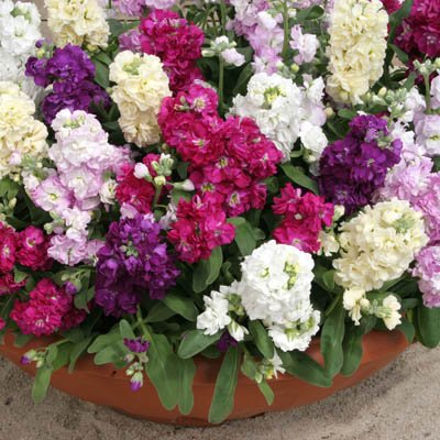 40+ Stock Cinderella Mix Flower Seeds /Long Lasting Annual: Toys & Games