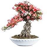 Brussel's Bonsai ST2717SAR-F Specimen Bonsai Azalea