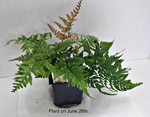Autumn Brilliance Fern Potted Plants (1 order contains 2 potted plants)
