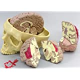 Brain Model Full Size Segmented 4 Parts