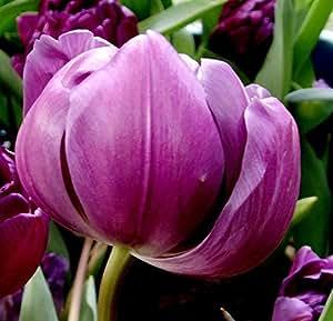 2pcs bulbos de tulipán (No Tulipán Seeds) Lily maceta colores frescos tulipanes con bulbo de la raíz de la flor Bonsai cormos plantados Inicio Jardín