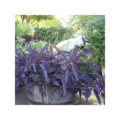 3 Tradescantia Pallida Purple Heart Plant Out/indoor