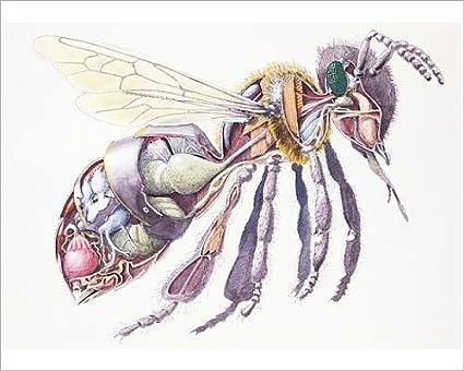 Amazon 10x8 Print Of Honey Bee Apis Mellifera Internal