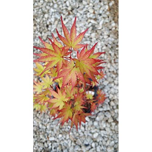 (3 gallon) Sango-kaku Japanese Maple-brilliant Red Bark(coral Bark),the bark on new twigs turn bright red, Year round beauty with spectacular range of leaf colors- A Real Beauty free shipping