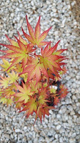 (2 gal in pot,Sango-kaku Japanese Maple-brilliant Red Bark(coral Bark)the bark on new twigs turn bright red, Year round beauty with spectacular range of leaf colors- A Real Beauty, (Hydrangeas Shrub, Evergreens, Gardenia)