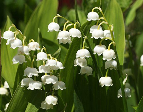 The 8 best plant bulbs for indoor forcing