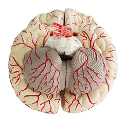 Finlon Menschliche Anatomie Gehirnmodell Gehirn Mit Arterien Modell ...