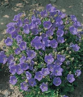 - Campanula carpatica Clips Deep Blue 2,000 seeds
