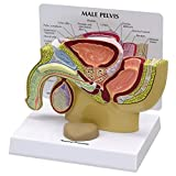 Male Pelvis with Prostate Anatomical Model Professional