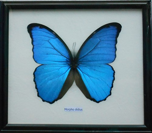 Collectable Framed (Framed Real BIG Blue MORPHO DIDIUS Butterfly Display Insect Collectible Taxidermy)