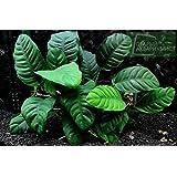 Potted Anubias Coffeefolia Aquarium Plant