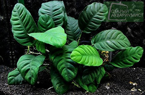 Potted Anubias Coffeefolia Aquarium Plant