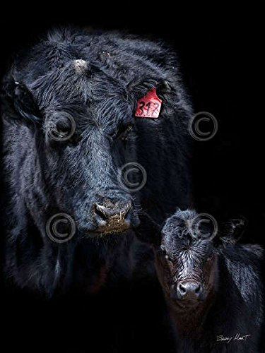 The Picture Peddler Black Angus by Barry Hart Western Pho...