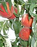 Autumn Flame Freestone Peach Tree--Shipped in Soil on Foam Cushion, Five Gallon Container